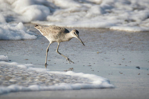Photograph - Willet On The Run by Dawn Currie