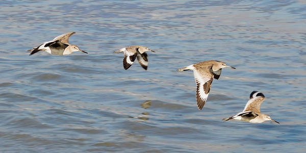 Photograph - Willet Quartet by Dawn Currie
