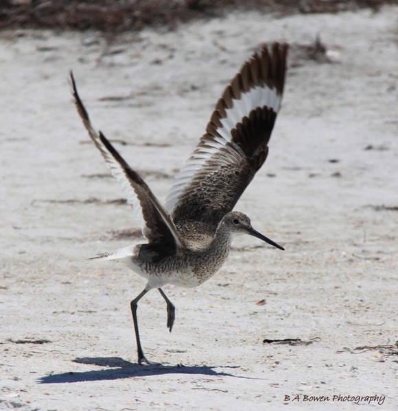 Photograph - Willet Take-off by Barbara Bowen