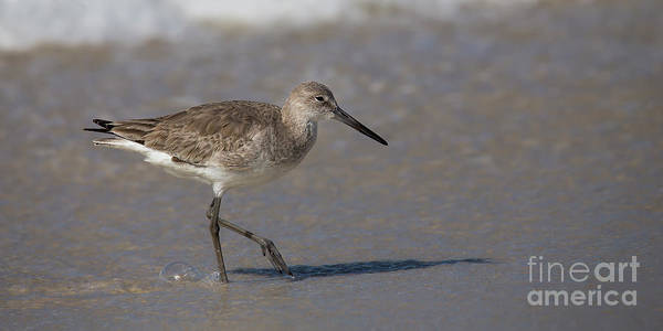 Wall Art - Photograph - Willet by Twenty Two North Photography