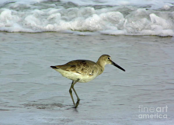 Photograph - Willet Watching by D Hackett