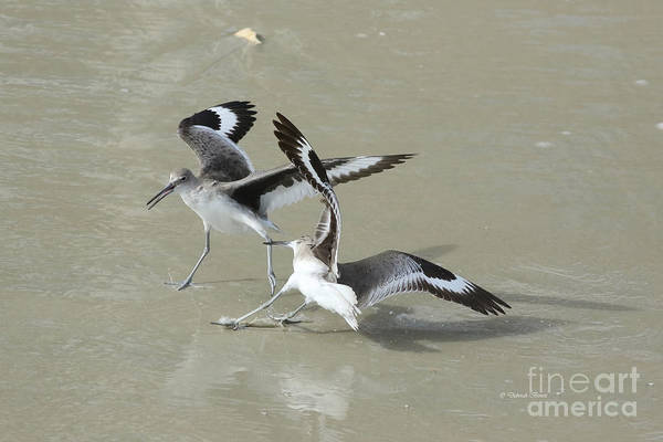 Photograph - Willets At The Beach by Deborah Benoit