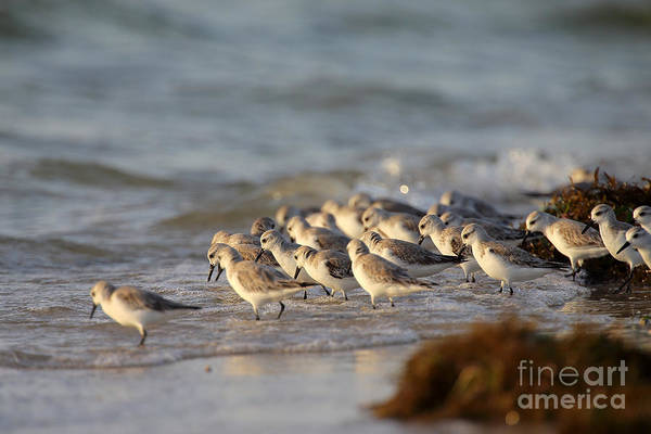 Willets On The Shore. Art Print by Rick Mann