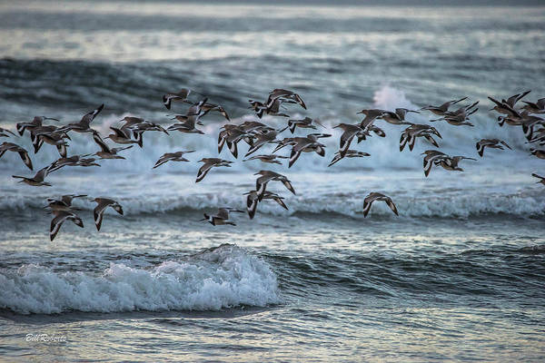 Wall Art - Photograph - Willets On The Wing by Bill Roberts