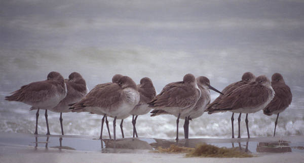 Photograph - Willets  by Ralph Fahringer