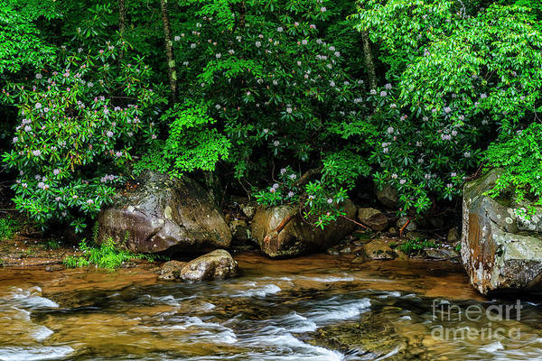 Trout Stream Photograph - Williams River And Rhododdendron by Thomas R Fletcher