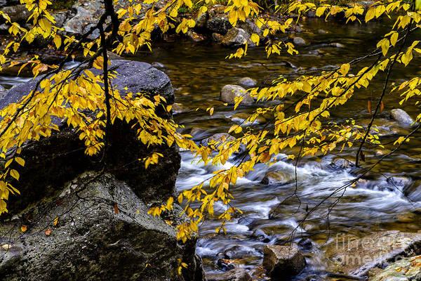 Birch River Photograph - Williams River Birch Leaves by Thomas R Fletcher