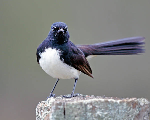 Photograph - Willie Wagtail by Nicholas Blackwell