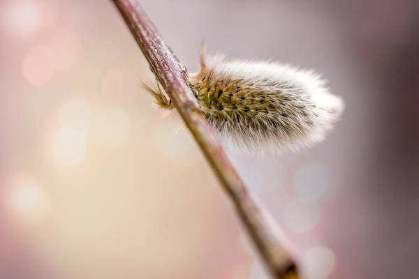 Wall Art - Photograph - Willow Bud by Alain De Maximy