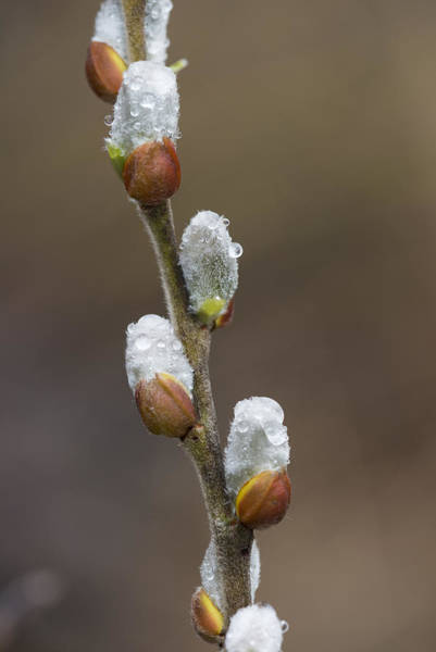 Photograph - Willow Catkins by Robert Potts