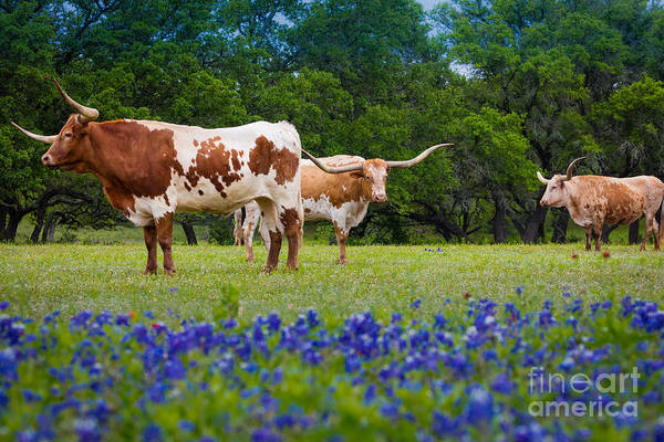 Texas Bluebonnet Photograph - Willow City Longhorns by Inge Johnsson