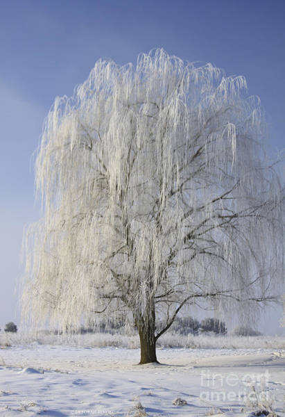 Photograph - Willow In Ice by Deborah Benoit