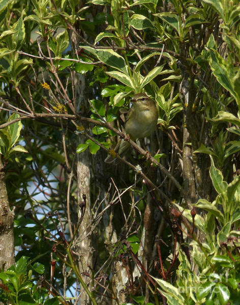 Photograph - Willow Warbler by Phil Banks