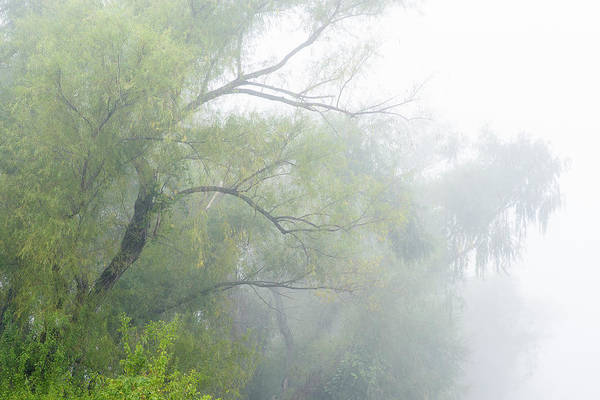 Photograph - Willows In The Fog by Robert Potts
