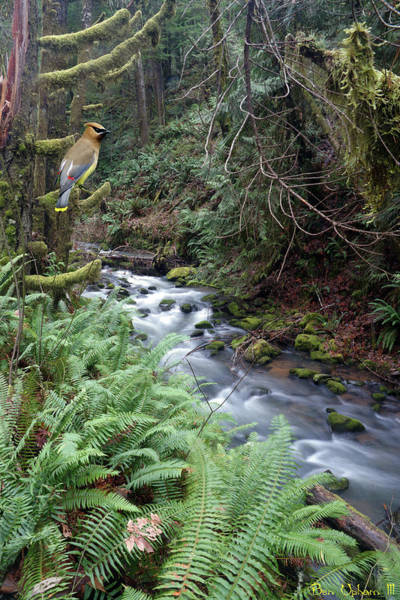 Photograph - Wilson Creek #14 With Added Cedar Waxwing by Ben Upham III