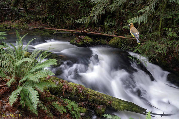 Photograph - Wilson Creek #18 With Added Cedar Waxwing by Ben Upham III