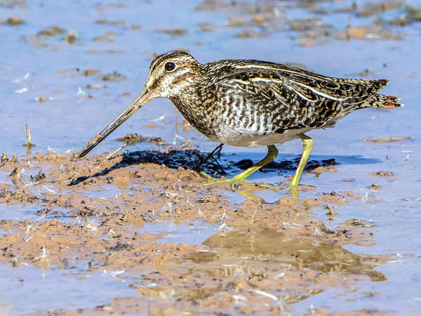 Photograph - Wilson's Snipe 3845-112317-1cr by Tam Ryan