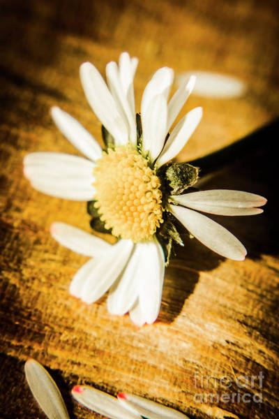 Daisy Flower Photograph - Wilt by Jorgo Photography - Wall Art Gallery