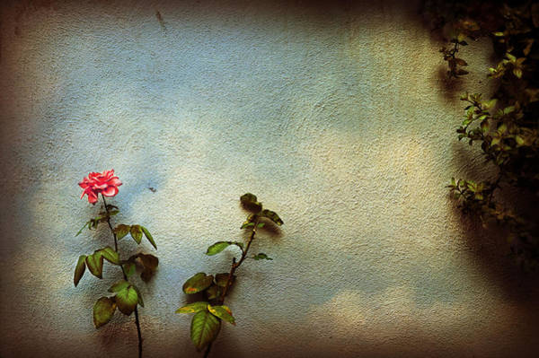 Photograph - Wilting Rose by Silvia Ganora