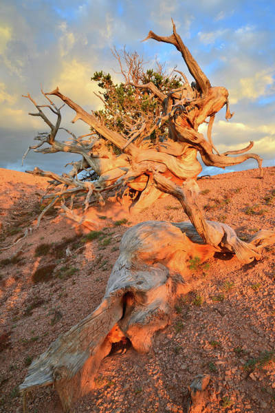 Photograph - Wind Blown Bristlecones by Ray Mathis