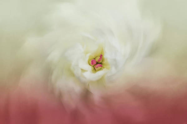 Photograph - Wind Dance Peony Flower Art by Jai Johnson