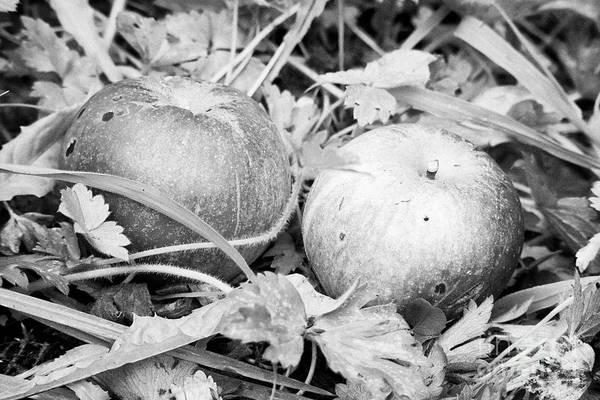 Wall Art - Photograph - Wind Fallen Home Grown Discovery Apples In A Garden In The Uk by Joe Fox