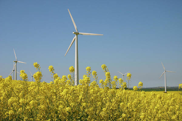 Horizontal Photograph - Wind Turbines Across A Field Of Flowering Oilseed Rape (brassica Napus) by Maria Jauregui Ponte