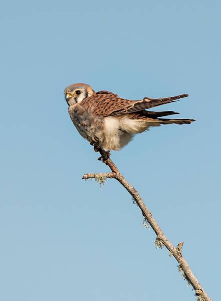 Photograph - Windblown Kestrel by Loree Johnson