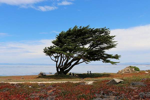 Photograph - Windswept Cypress  by Christy Pooschke