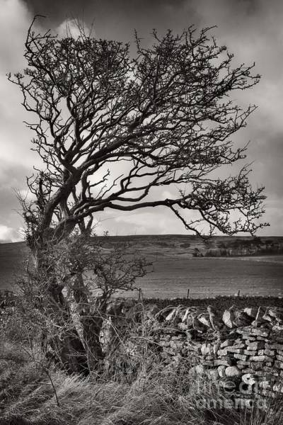 Photograph - Windswept Tree In Winter by Martyn Arnold