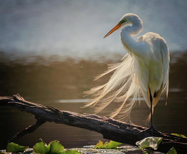 Wall Art - Photograph - Windy Egret  by Richard Kopchock