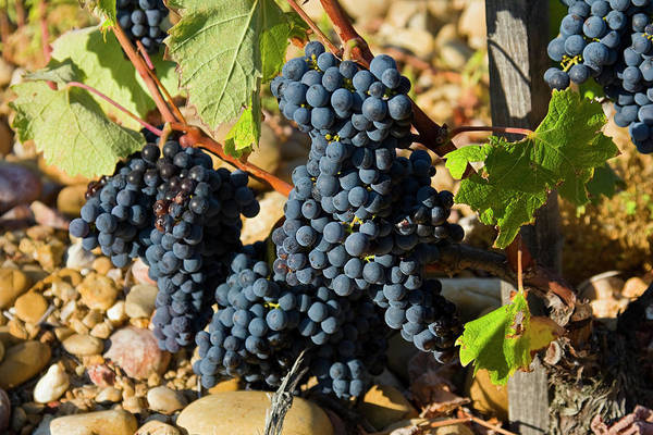 Chateauneuf Photograph - Wine On The Vine by Sally Weigand