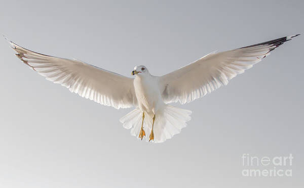 Photograph - Winged Messenger by Chris Scroggins