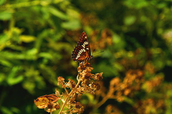 Photograph - Wingo Butterfly by David Armentrout