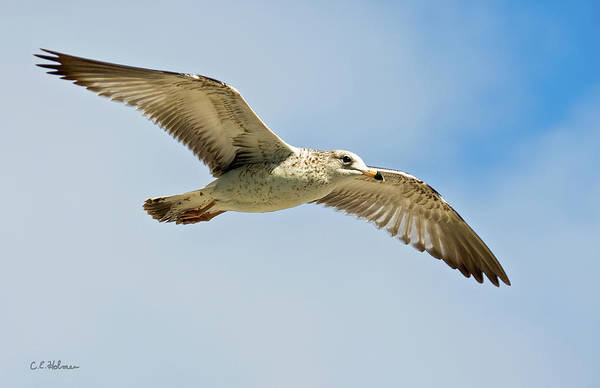 Photograph - Wings Aloft by Christopher Holmes