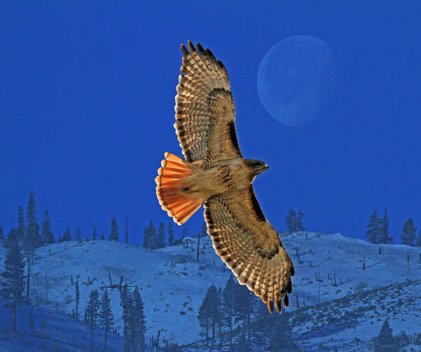 Raptor Photograph - Wings by Donna Kennedy