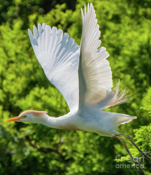 Photograph - Wings Of A Cattle Egret Fluttering by Vincent Billotto