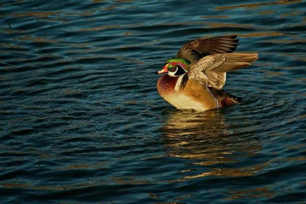 Photograph - Wings Of Nature, Wood Duck by Flying Z Photography by Zayne Diamond