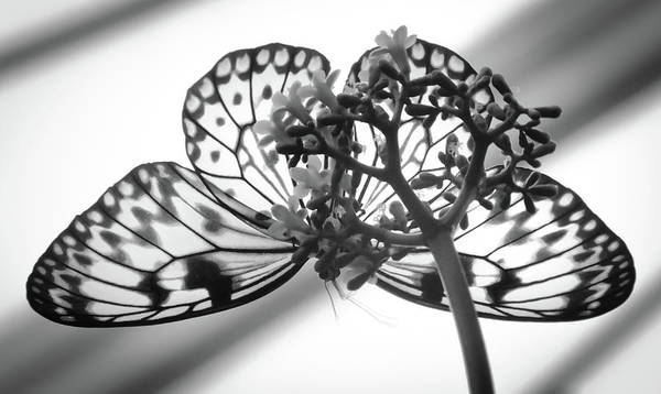 Wall Art - Photograph - Wings Of Scented Lace by Karen Wiles