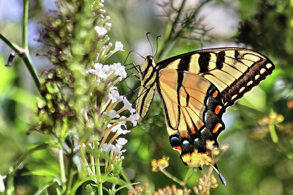 Photograph - Wings Of Summer Butterflies by Carol Montoya