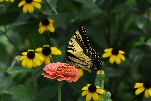 Photograph - Wings Of Summer Butterflies II by Carol Montoya