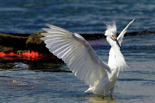 Photograph - Wings Of The Snowy Egret by Carol Montoya