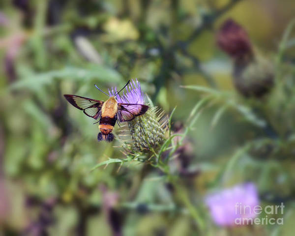 Clearwing Moth Photograph - Wings You Can See Through by Kerri Farley