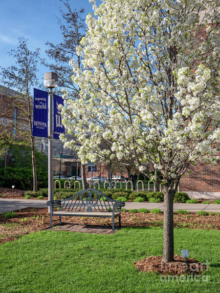 Photograph - Winona State Blossoms With Bench by Kari Yearous