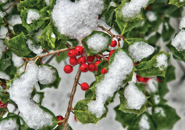 Photograph - Winter - Ice Coated Holly by Mike Savad
