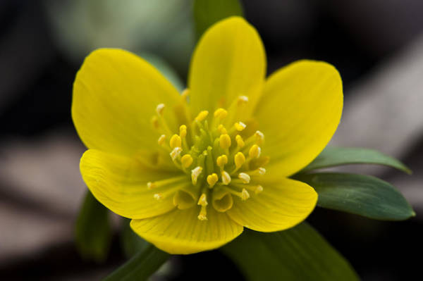 Photograph - Winter Aconite by Dan Hefle