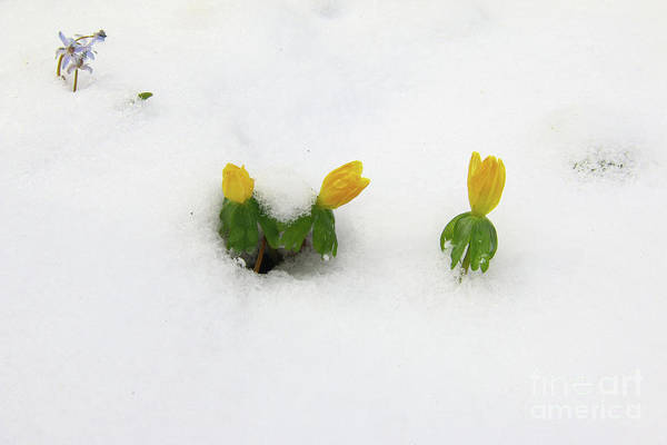 Wall Art - Photograph - Winter Aconite In The Snow by Michal Boubin