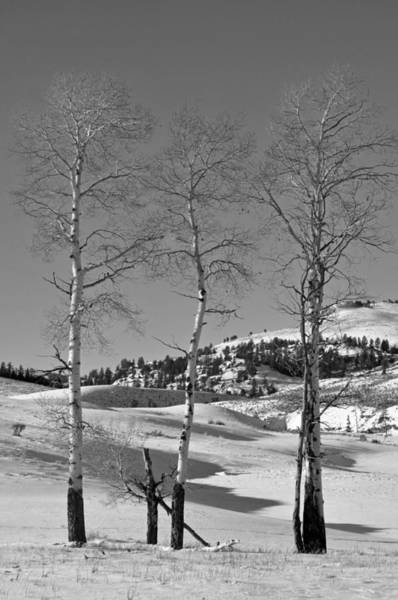Photograph - Winter Aspen In Black And White by Bruce Gourley