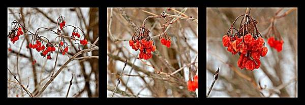 Wall Art - Photograph - Winter Berries by Autumn Haupt