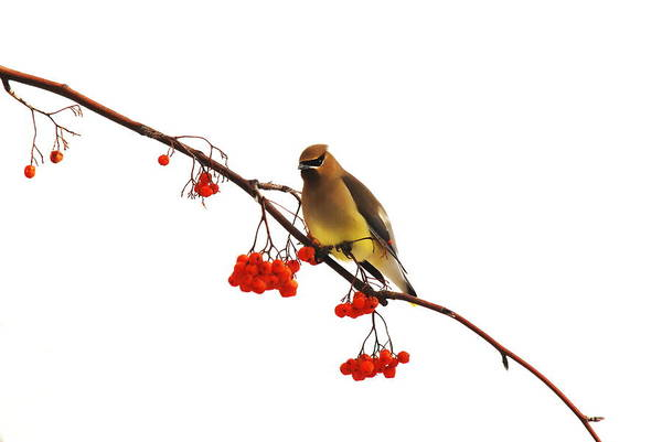 Art Print featuring the photograph Winter Birds - Waxwing  by Andrea Kollo